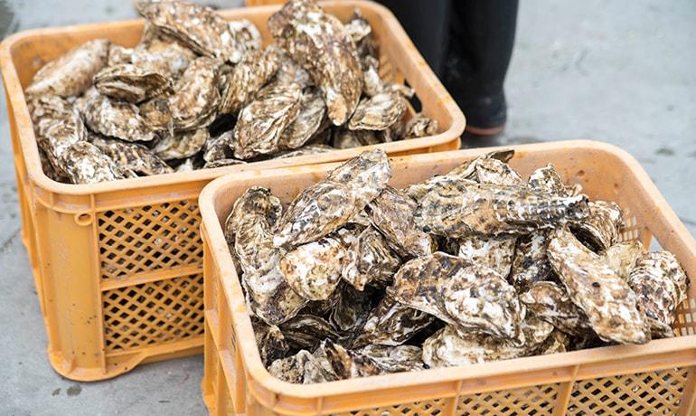 石巻の牡蠣を育てる